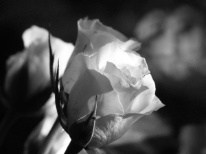 pink rose - black&white