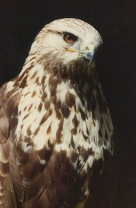 Falcon -lower res