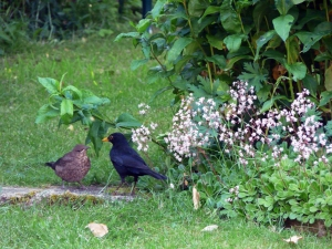 My resident blackbird family.